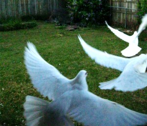 The White Doves flying out, exercising at home.